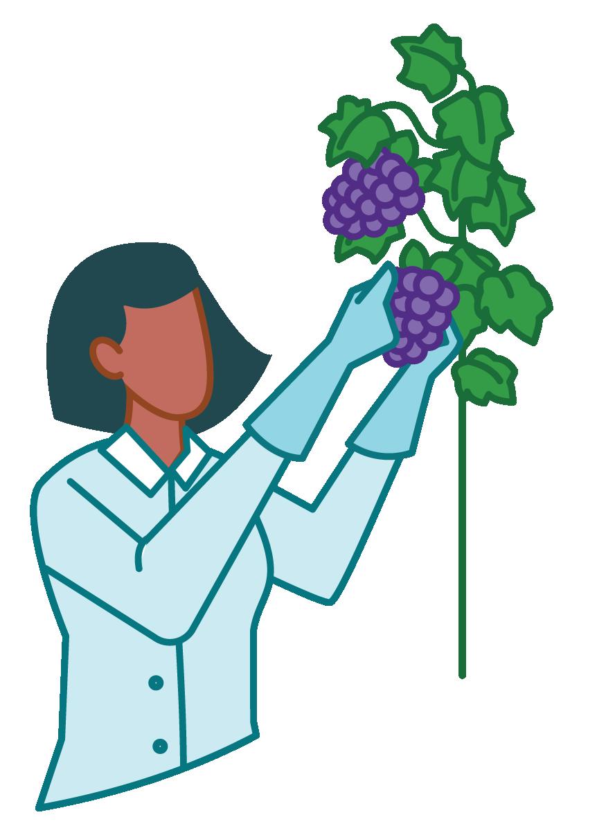 Illustration of a grape breeder tending vines